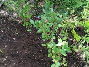 ブルーベリーの収穫が楽しみです。